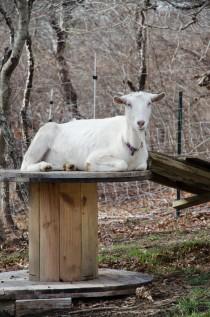 Dorothy Goat