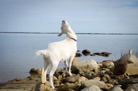 Dorothy Goat simulates having horns
