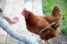 feeding_chicken