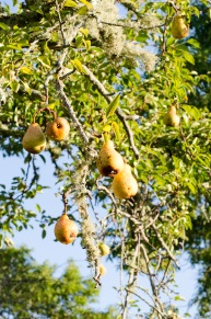 pears_foraging