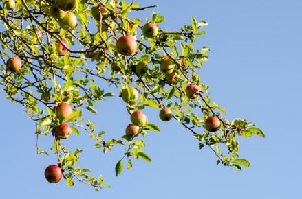 apples_branch